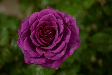 stunning rose timeless purple wins best plant in visitor vote award