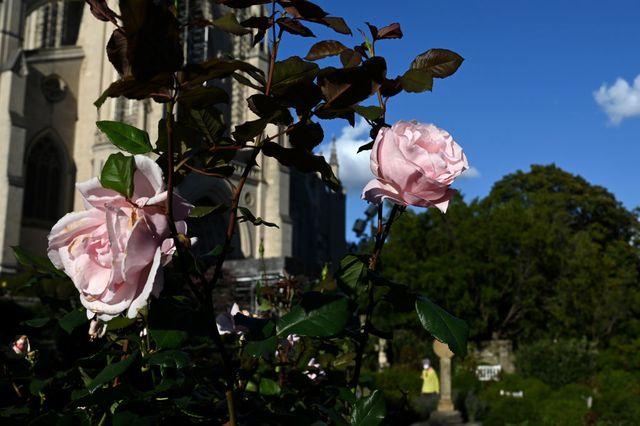 washington, dc  october 22  roses bloom in bishops garden at
