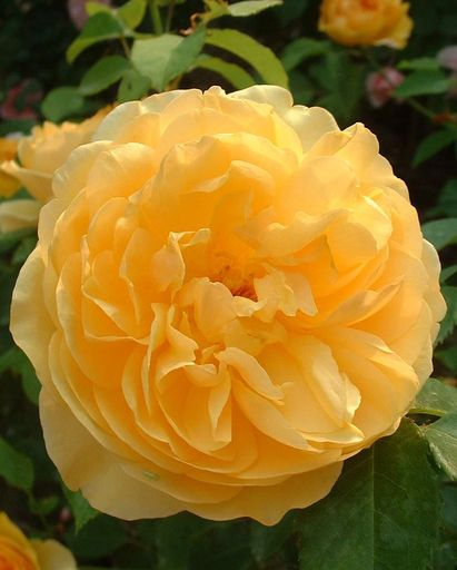 english david austin rose, graham thomas