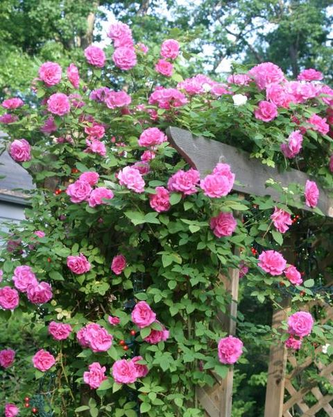 'zephirine drouhin' climbing rose