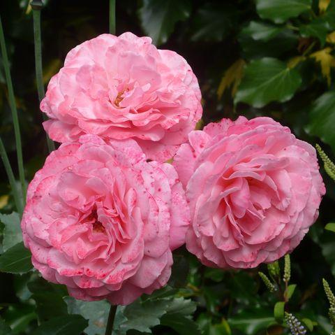 'sexy rexy' floribunda rose