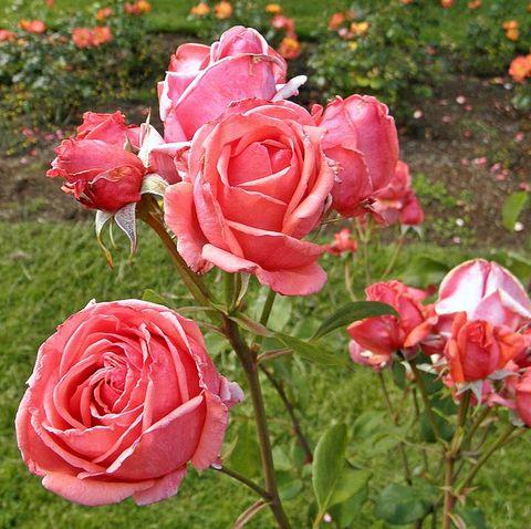 16 Types Of Roses Most Popular Rose Varieties