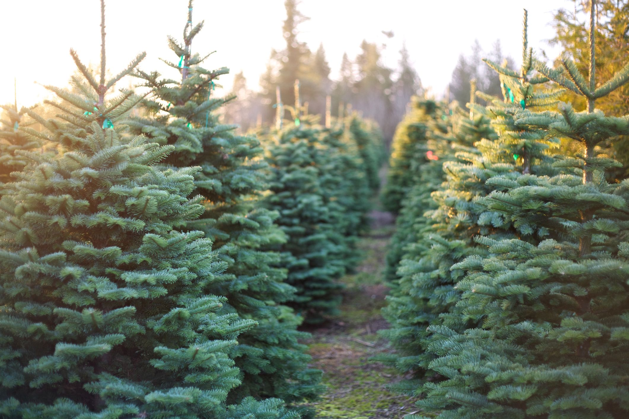 The crucial steps you need to follow after buying a real Christmas tree
