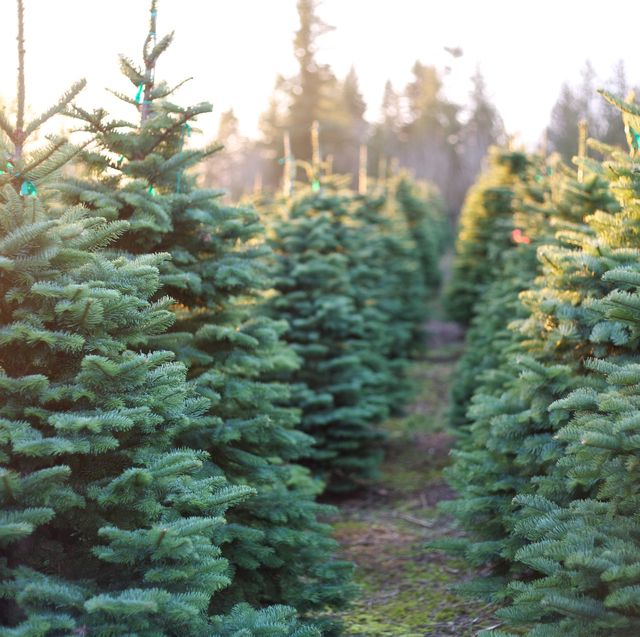 here's how you can get a real christmas tree at ikea for just £9
