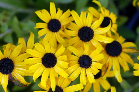 Flower, black-eyed susan, Yellow, Plant, Flowering plant, Petal, sunflower, Sunflower, Annual plant, Daisy family,