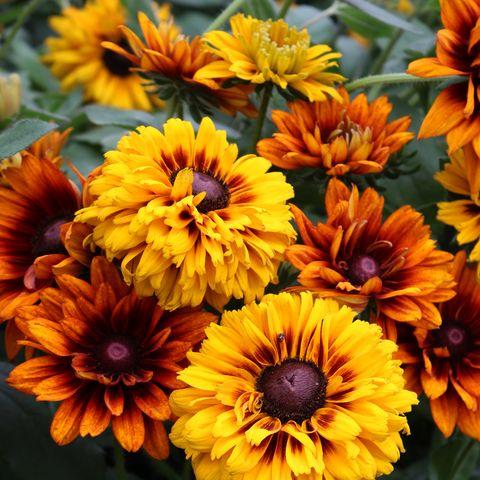 Rudbeckias - Gorgeous Autumn Flowers