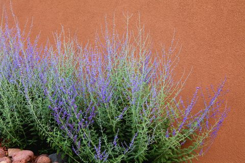 Russian Sage and Adobe Wall