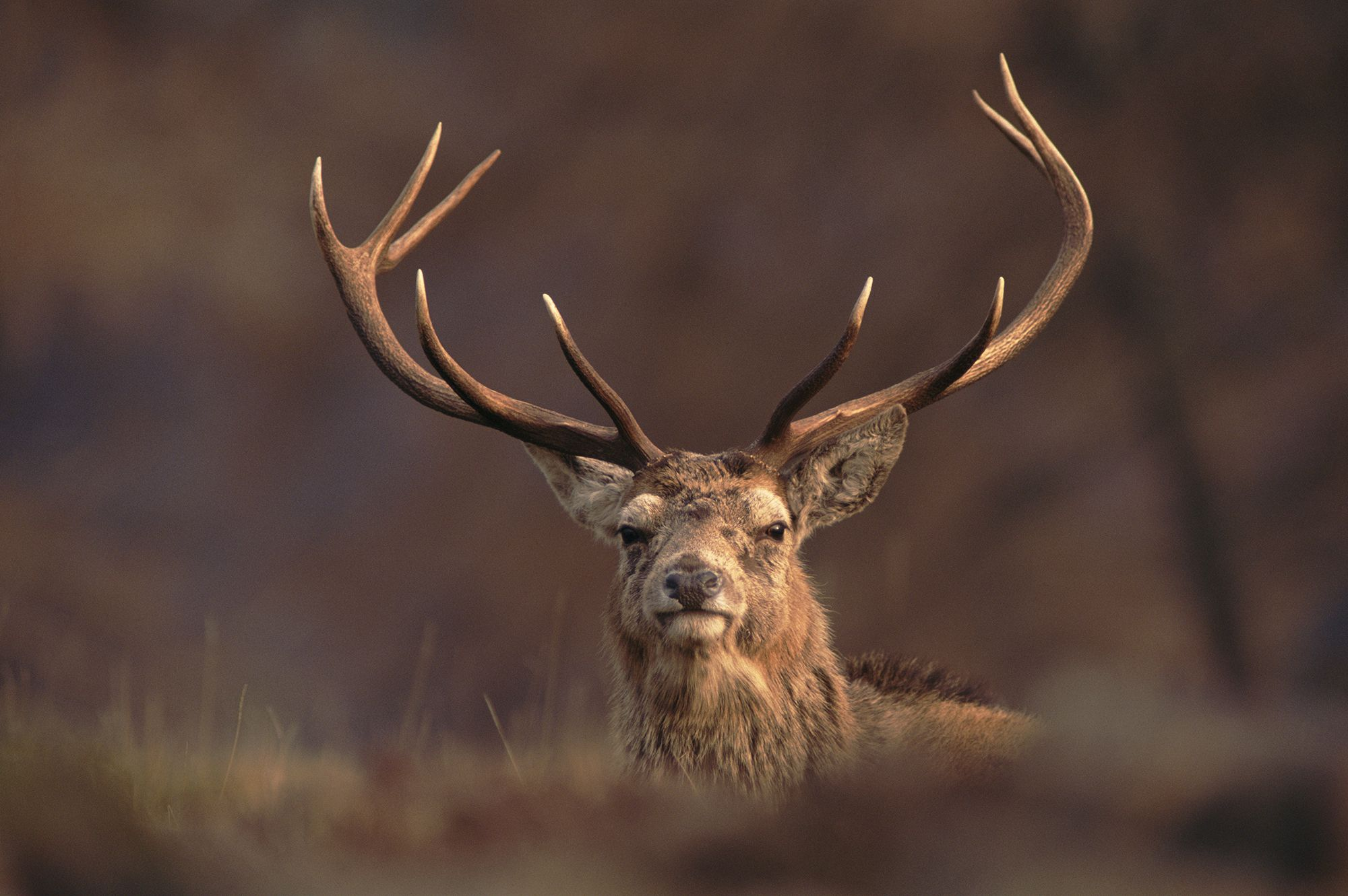 A Red Deer (Cervus elaphus) stag's head with majestic antlers peering over a hummock towards the camera, known as the Monarch of the Glen in the Scottish Hightlands they are Britain's largest native deer