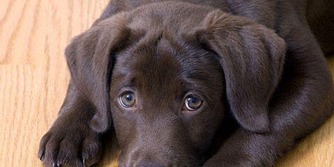 Sad Black Lab Puppy