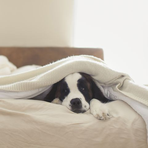 Saint Bernard lying on bed at home