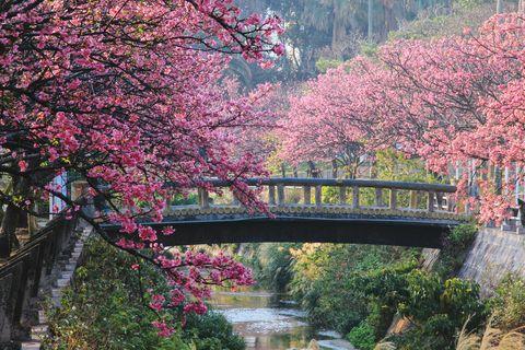 Sakura in Okinawa