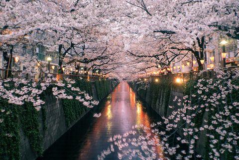 sakura on meguro river
