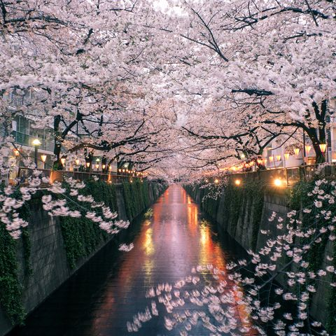 2020 holidays: Cherry blossom in Japan