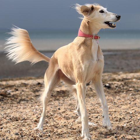 saluki fastest dogs