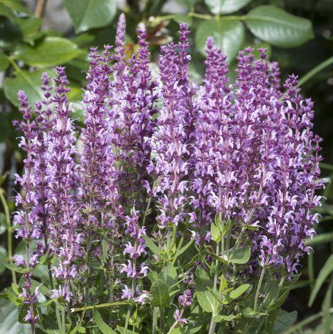 salvia nemorosa or woodland sage closeup in the garden