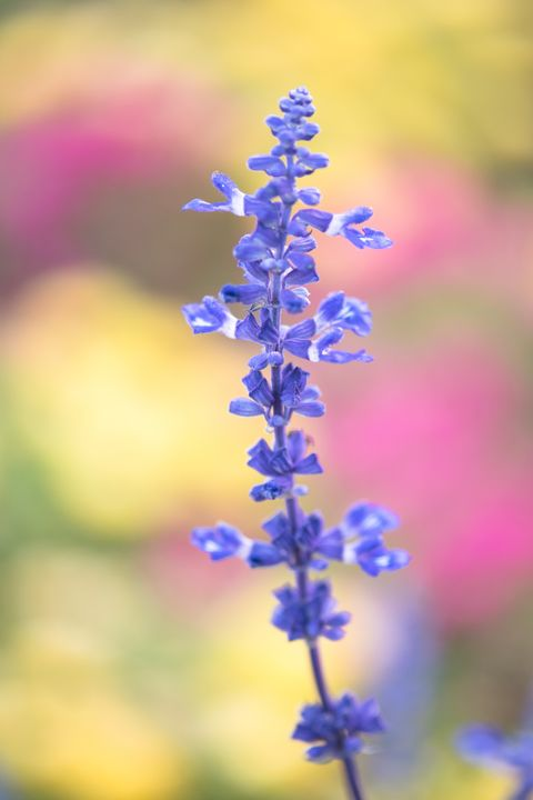 flower meanings - Salvia