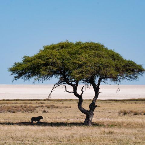 Savanna, Tree, Wildlife, Natural environment, Plain, Grassland, Natural landscape, Ecoregion, Steppe, Woody plant,