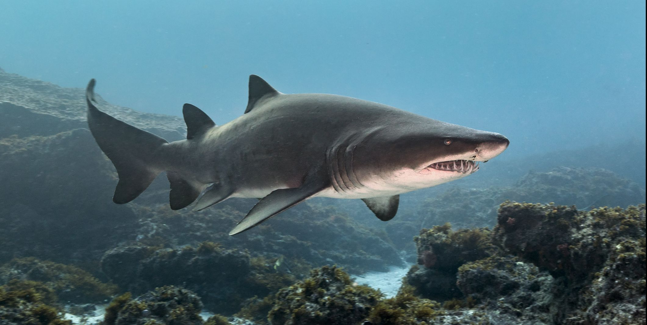 Ragged Tooth or Sand Tiger Shark (Carcharias Taurus) cruising reefs, Aliwal Shoal, South Africa