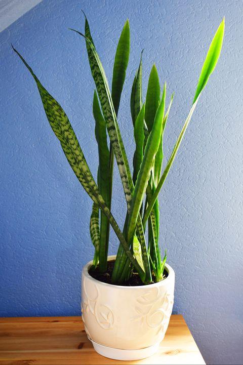 Sansevieria trifasciata or snake plant in flowerpot