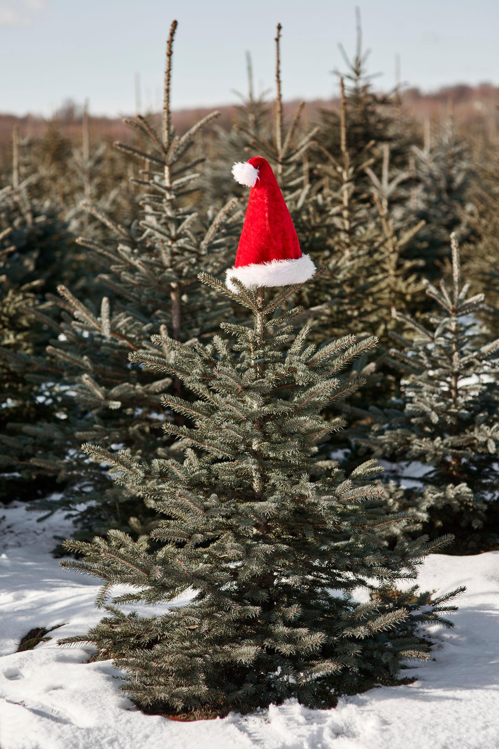 50 Best Christmas Tree Farms In America Christmas Tree Farms Near Me