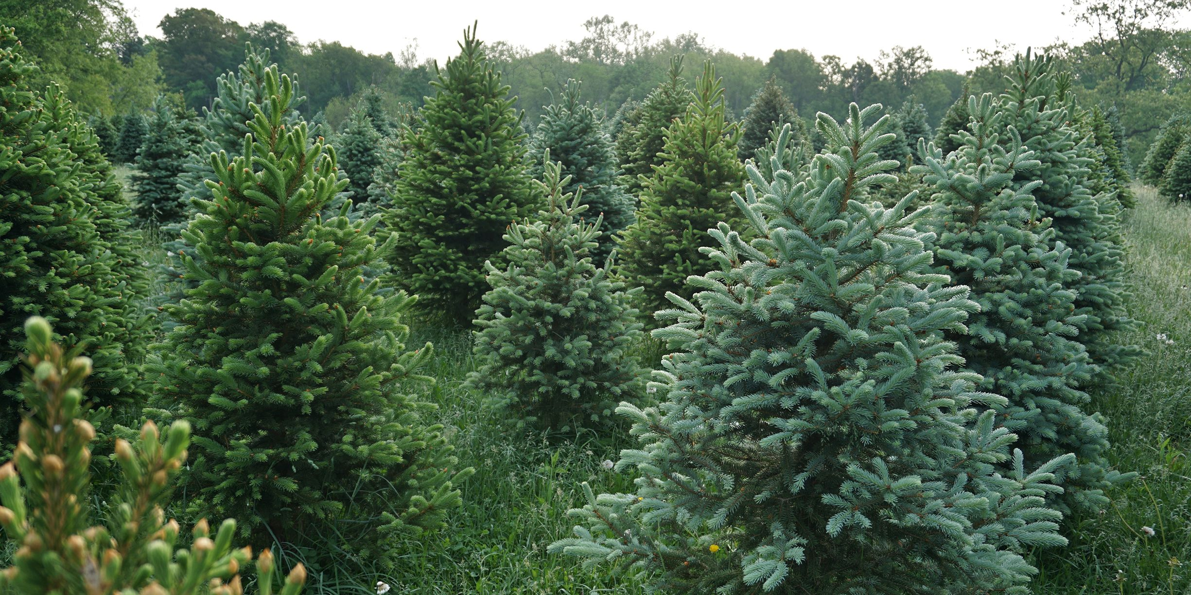 Christmas Tree Farms Near Me - The Best Christmas Tree Farms in America