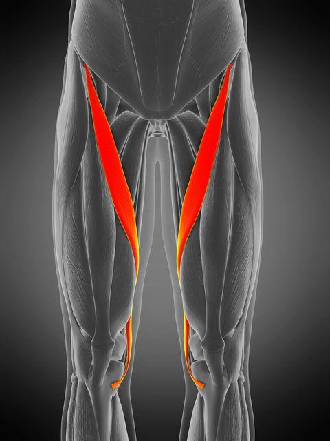 sartorius muscle, illustration