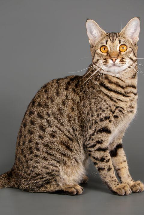 10 Best Large Cat Breeds - Top Big Cat List and Pictures  |Big Cat Species