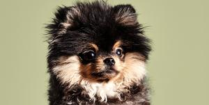 hond-bowgie-lil-kleine-jaimie-vaes