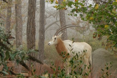 Scimitar Oryx Standing In Forest