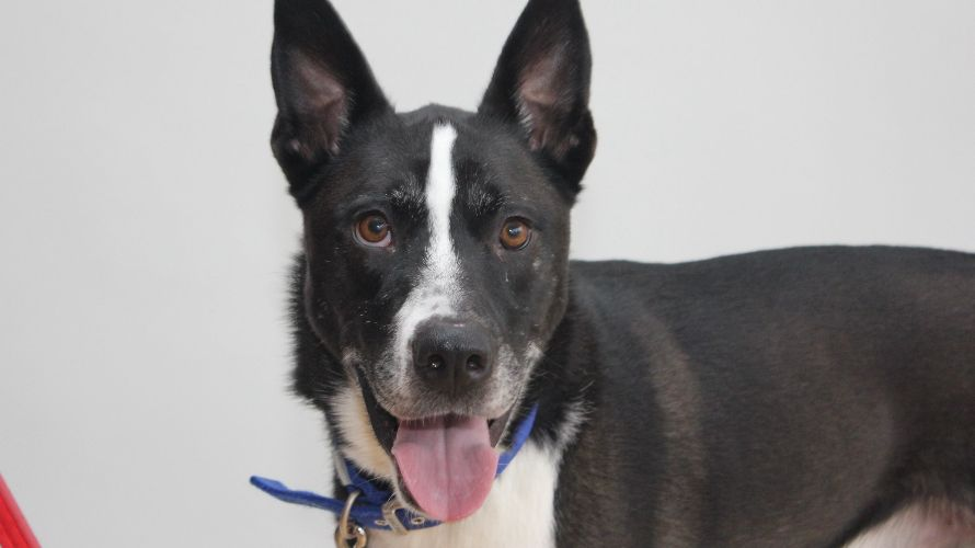 Battersea Dogs & Cats Home dog for adoption