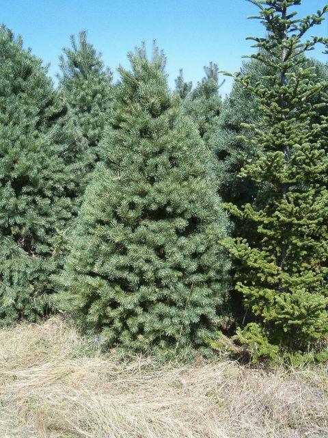 real christmas tree - Cheap Real Christmas Trees For Sale