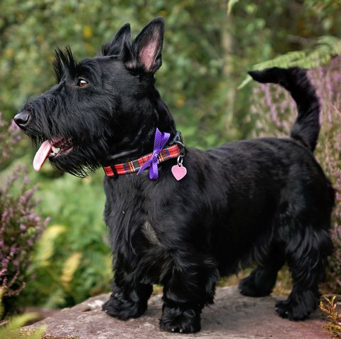The Scottish Terrier Is Now Officially At Risk According