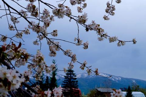 Yolchi Distillery cherry blossoms