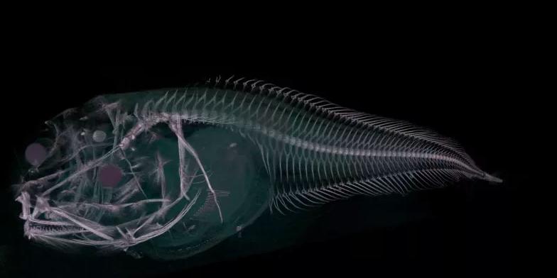 CT scan of the Atacama snailfish