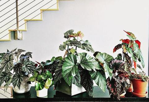 Flowerpot, Flower, Houseplant, Plant, Botany, Leaf, Anthurium, Flowering plant, Begonia, Herbaceous plant,