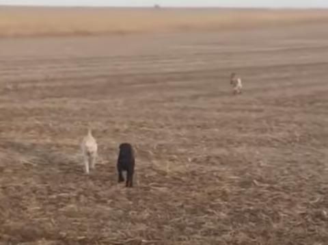Bo dog goat video photo