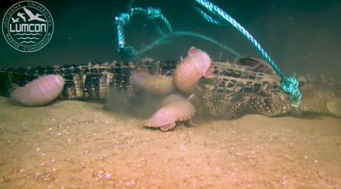 alligator getting devoured by giant isopods