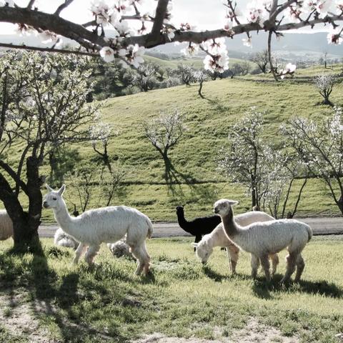 Alpaca Ranch Airbnb California
