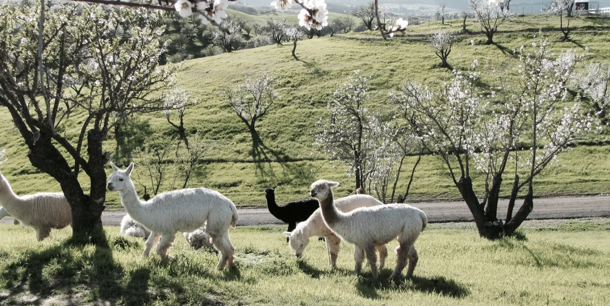 This California Airbnb Is Actually a Working Alpaca Ranch, and It's Only $74 a Night