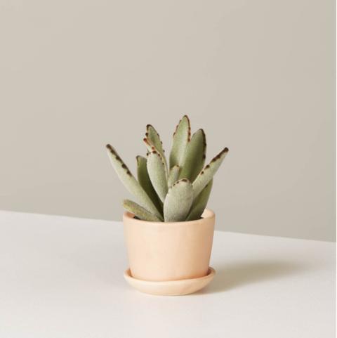 panda plant the sill tiny desk plants mother's day gift