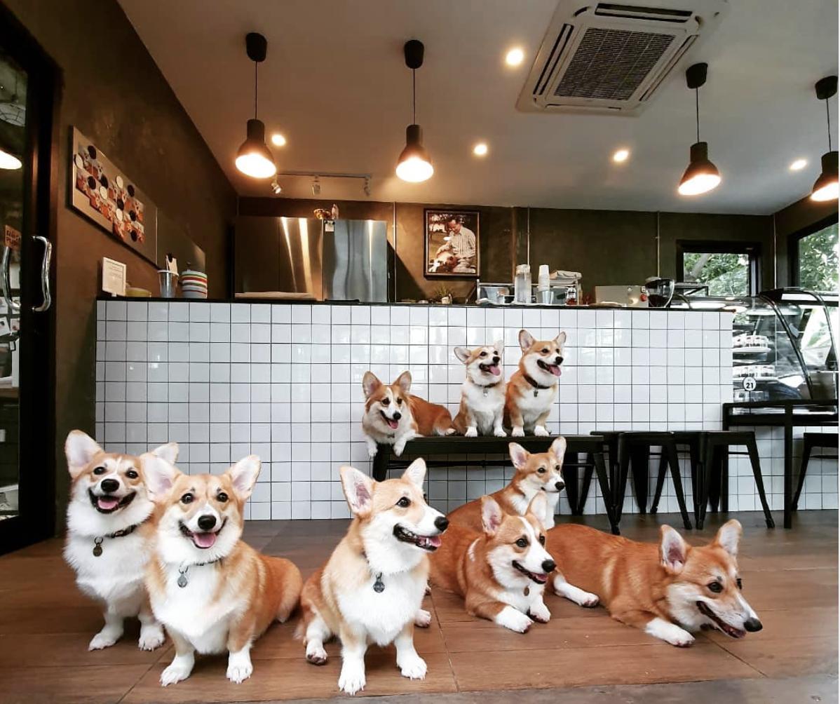 This Corgi Café Has DOZENS Of Dogs On-Hand For Snuggling