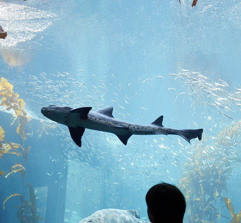 Fish, Shark, Great white shark, Fin, Cartilaginous fish, Sky, Marine biology, Underwater, Fish, Lamniformes,