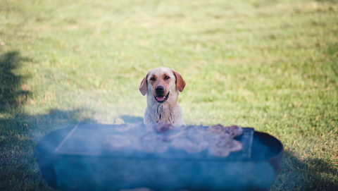 Labrador kijkt naar bbq