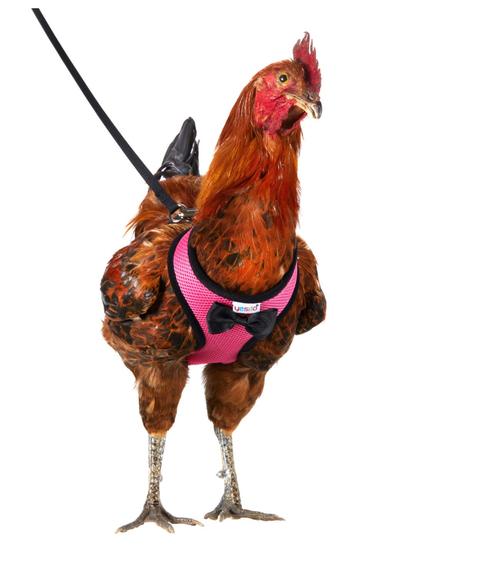Chicken, Bird, Rooster, Galliformes, Poultry, Fowl, Comb, Livestock, Phasianidae, Beak,