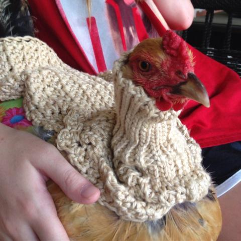 Chicken, Rooster, Galliformes, Bird, Poultry, Livestock, Fowl, Beak,