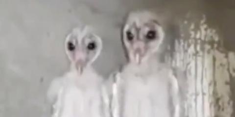 Owl, Vertebrate, Barn owl, Bird, Face, Bird of prey, Head, Beak, Adaptation, Fur,