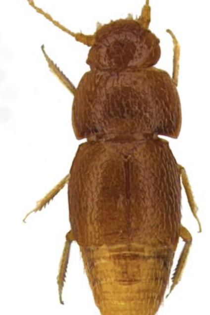 Insect, Invertebrate, Beetle, Pest, Arthropod, Longhorn beetle, Blister beetles, Darkling beetles, Ground beetle, Scentless Plant Bugs,