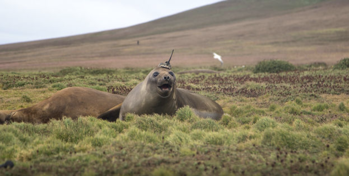 This Seal Is Wearing a Data-Mining Hat for Science