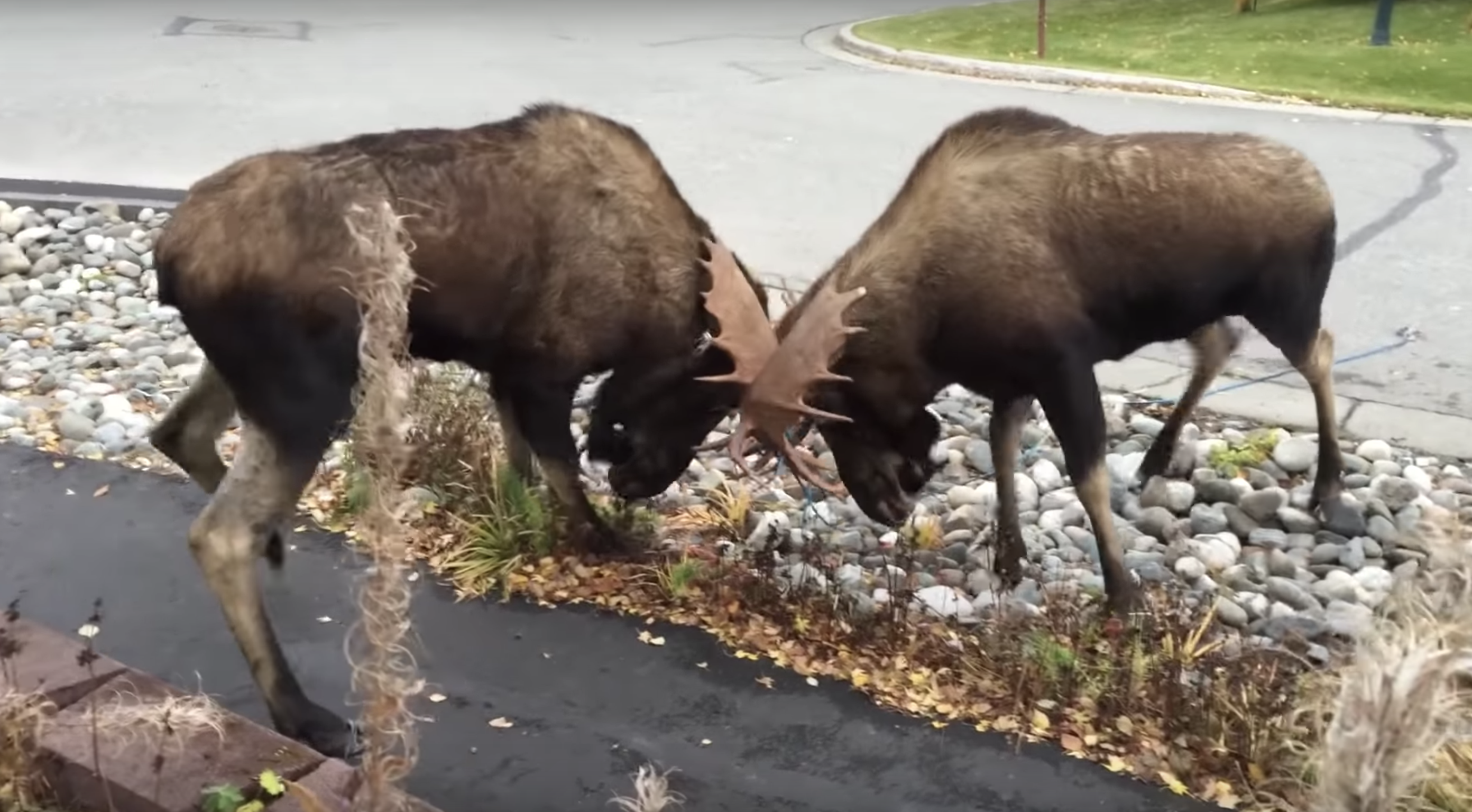 So Two Moose Are Fighting in Your Driveway Again