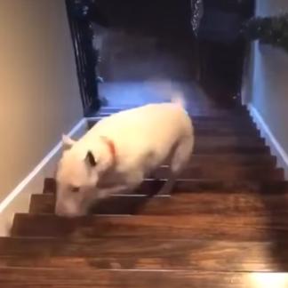 Suidae, Domestic pig, Snout, Wood, Fawn, Floor, Bull terrier, Flooring,